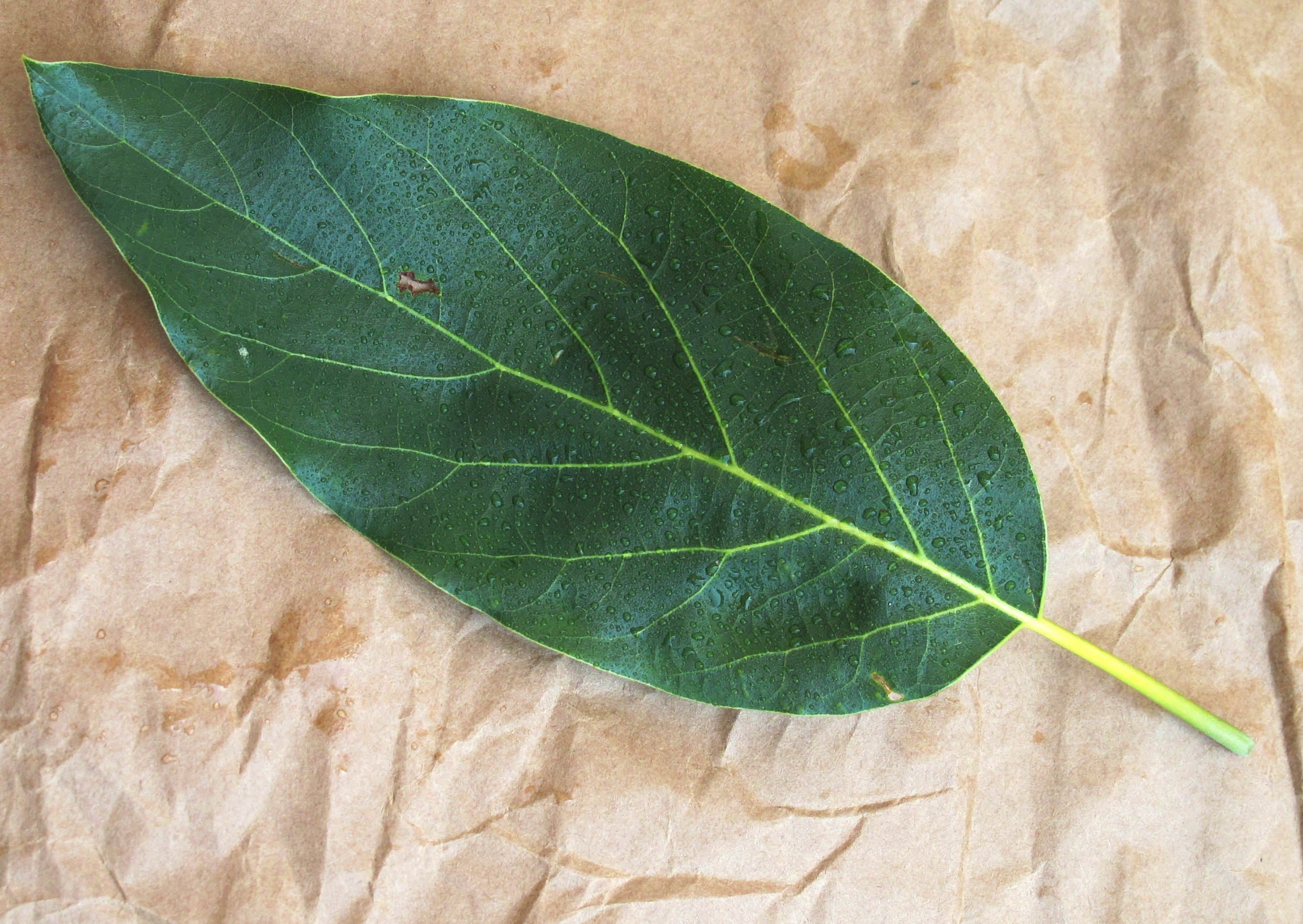 Leaf Morphology | Obovate Designs™