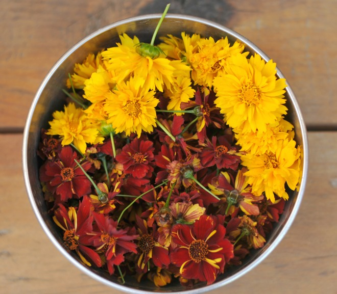 freshly harvested 2 varieties of coreopsis from the garden