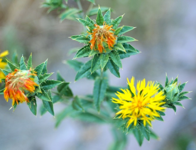 pretty orange and yellow flower heads--touch me not