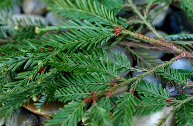 grand fir needles