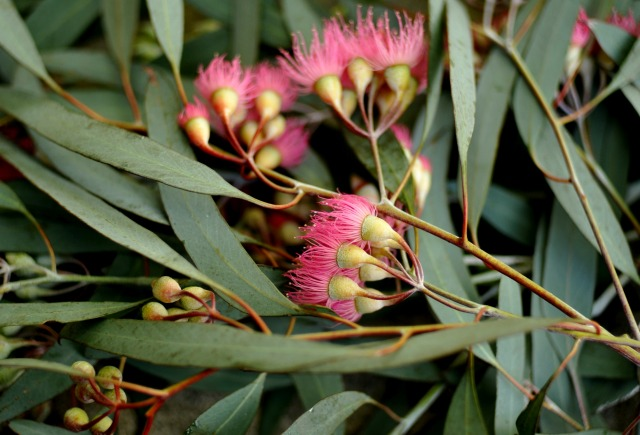 freshly harvested  eucalyptus sideroxylon