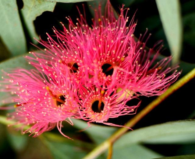 clusters of deep pink flowers--striking