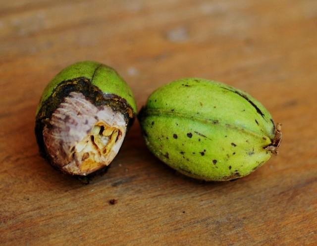 a half bitten pecan nut by the squirrel.