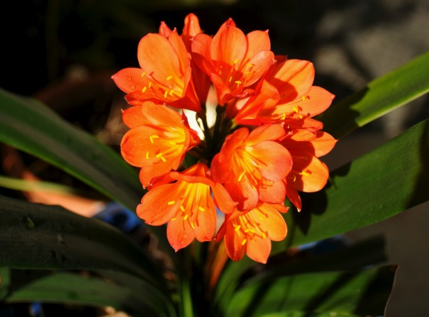 Clivia Miniata,  an evergreen herbaceous flowering plant native to southern Africa.