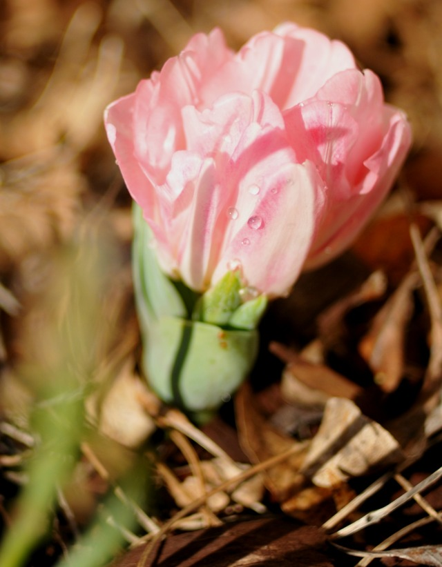 tulip in the prettiest pink this spring