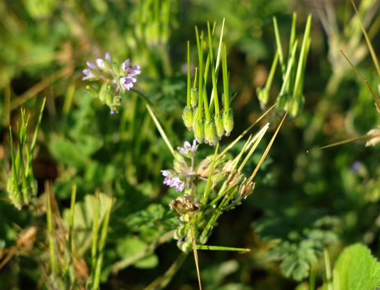 pinweed, an herbaceous annual plant