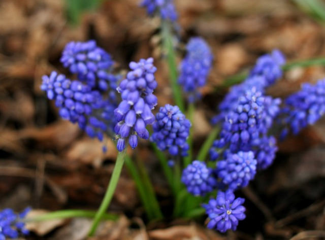 Muscari armeniacum, commonly known as grape hyacinth, is an early spring perennial