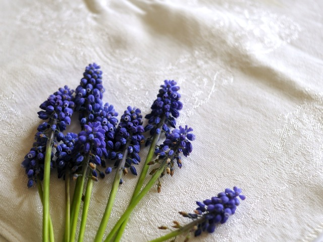 a handful of muscari for this experiment
